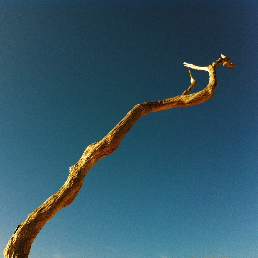 Deadwood against blue sky on Cumberland Island