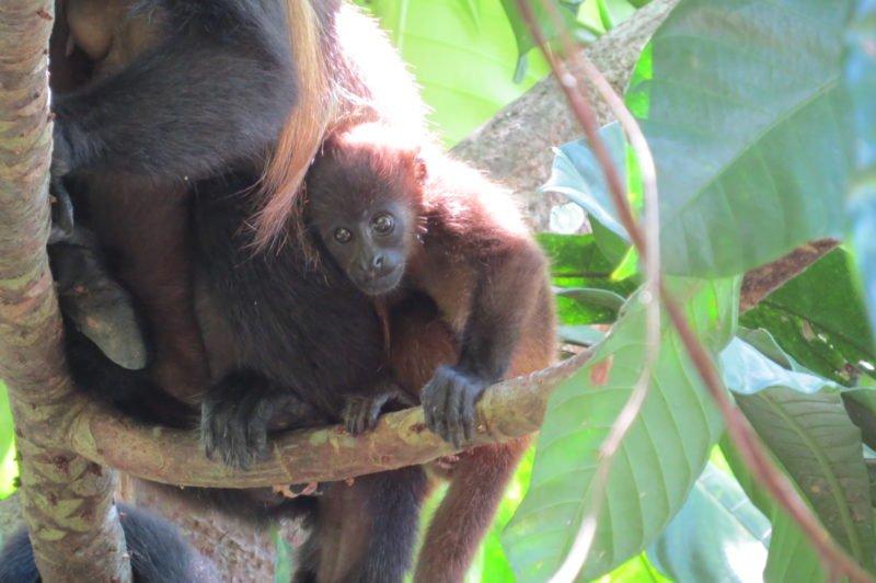 Memorable moments 2017 - the howler monkeys at monkey bay marina